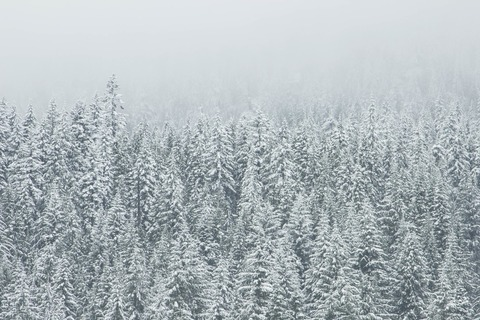 snow-forest-trees-winter-large