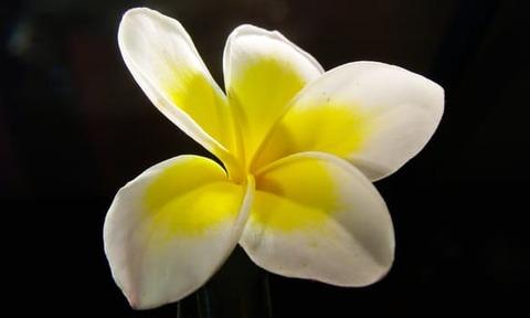 frangipani-plumeria-flower-blossom-67278