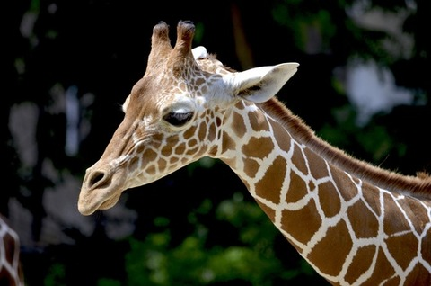 giraffe-reticulated-giraffe-neck-beautiful-158832-medium