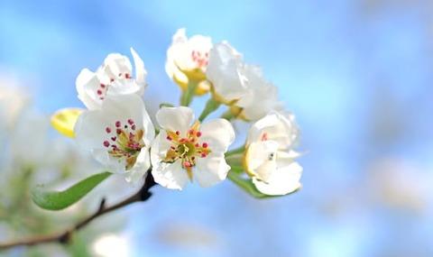 pear-blossoms-pear-tree-spring-blossom-163780