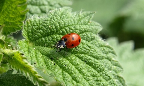 ladybug-macro-lucky-charm-insect-55827-medium