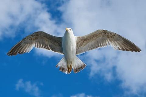 seagull-bird-fly-animal-122439