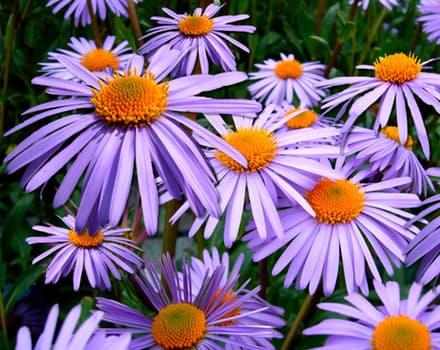 aster-tongolensis-michelmas-daisy-mauve-flower-85679