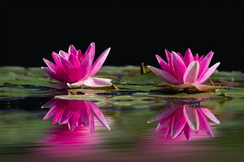 water-lilies-pink-water-lake-46231-medium
