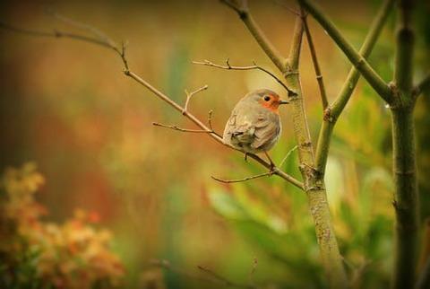 robin-bird-animal-songbird-162335