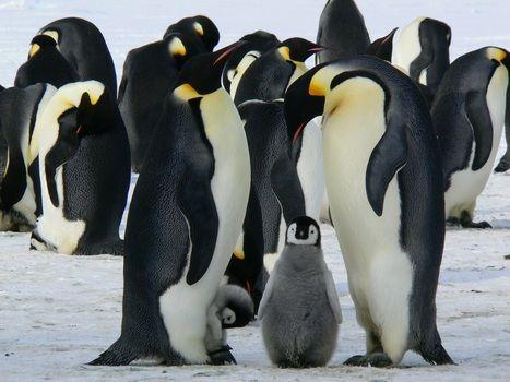 penguins-emperor-antarctic-life-52509-medium