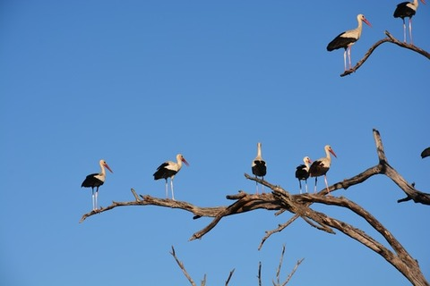 white-stork-storks-tree-sky-38531-medium