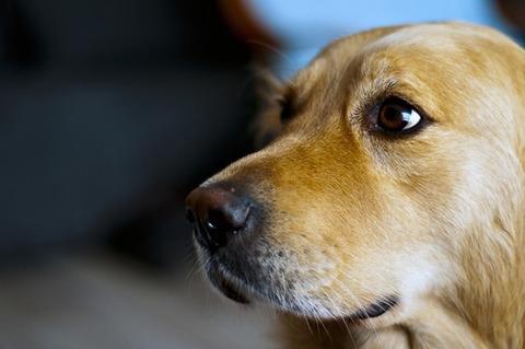 animal-dog-golden-retriever-9716-medium