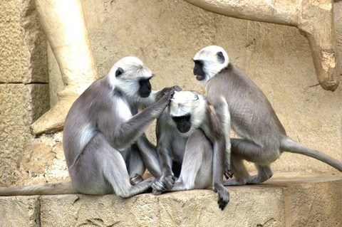 green-monkeys-monkey-old-world-monkey-monkey-family-66865-medium