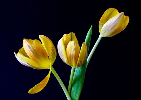 tulip-spring-flowers-yellow-53529-medium